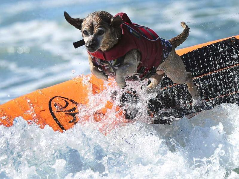 A dog leaps off the board while competing during the 5th Annual Surf Dog competition at Huntington Beach, California. (AFP Photo)