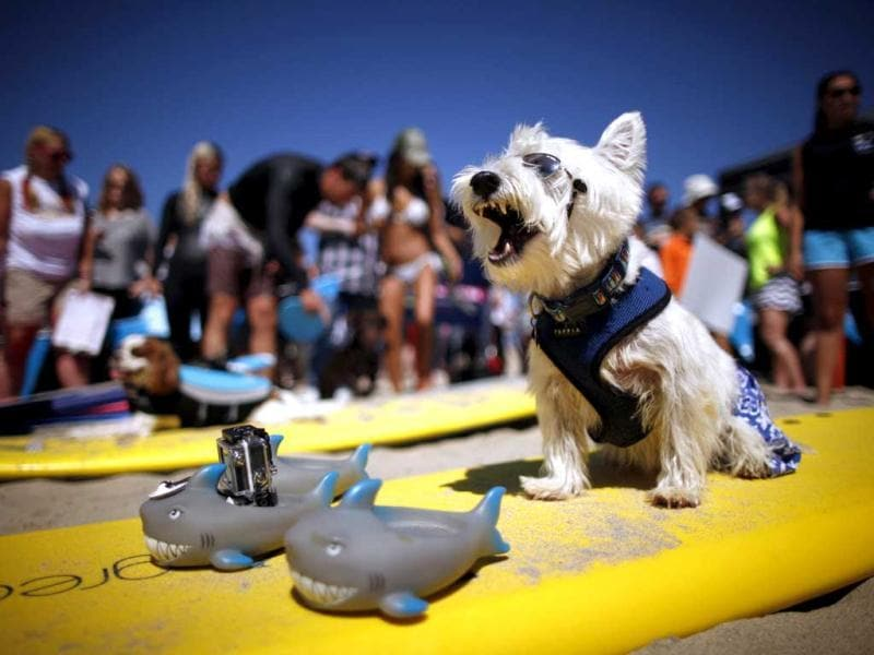 Surf Dog Joey, a West Highland Terrier, yawns as he waits to compete in the 5th Annual Surf Dog Competition at Huntington Beach, California. (Reuters)