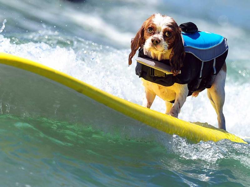 A dog rides a wave while competing at the 5th Annual Surf Dog competition at Huntington Beach, California. (AFP Photo)