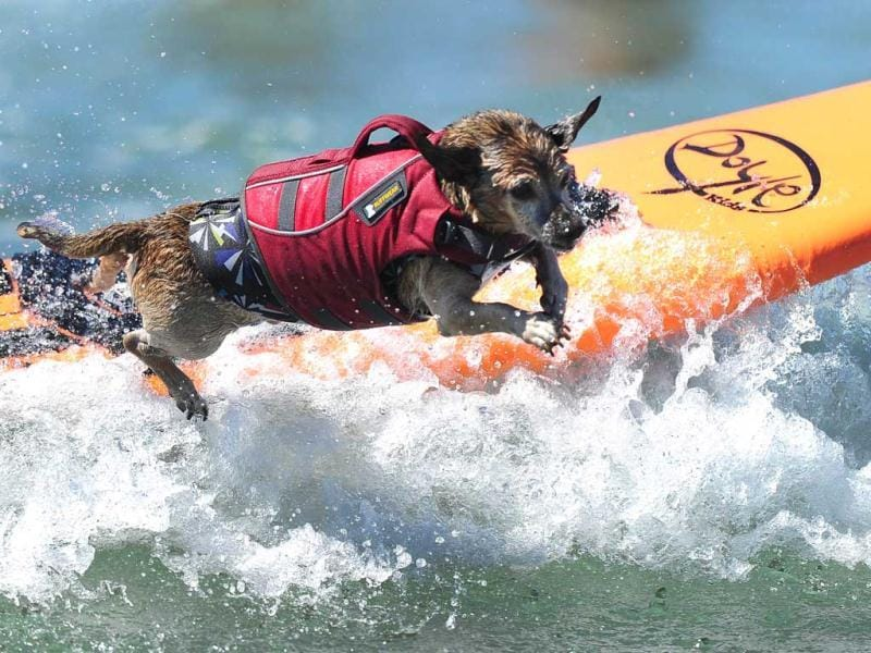 A dog competes at the 5th Annual Surf Dog Competition at Huntington Beach, California. (AFP Photo)