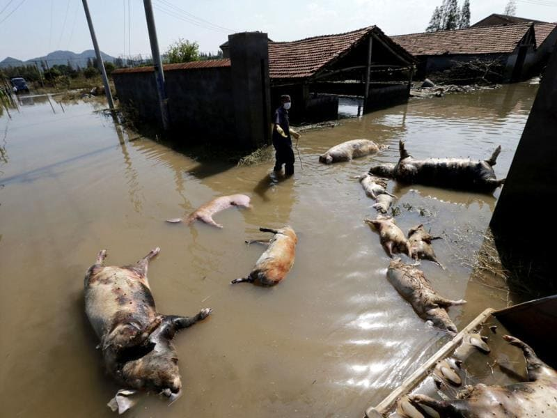 A farmer clears dead pigs at a flooded pig farm in the typhoon-hit Yuyao city in Zhejiang province. REUTERS/China Daily