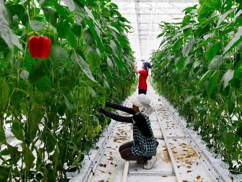 Employees of paprika-maker Vegi Dream Kurihara prune paprika vines at a greenhouse in the village of Ohira, Japan. (AFP Photo)
