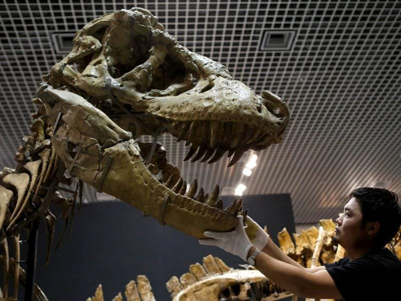 A scientist adjusts a Tarbosaurus' skull replica, which has been assembled with its actual skeleton that was found in Gobi Desert at the National Museum of Nature and Science in Tokyo. (Reuters Photo)