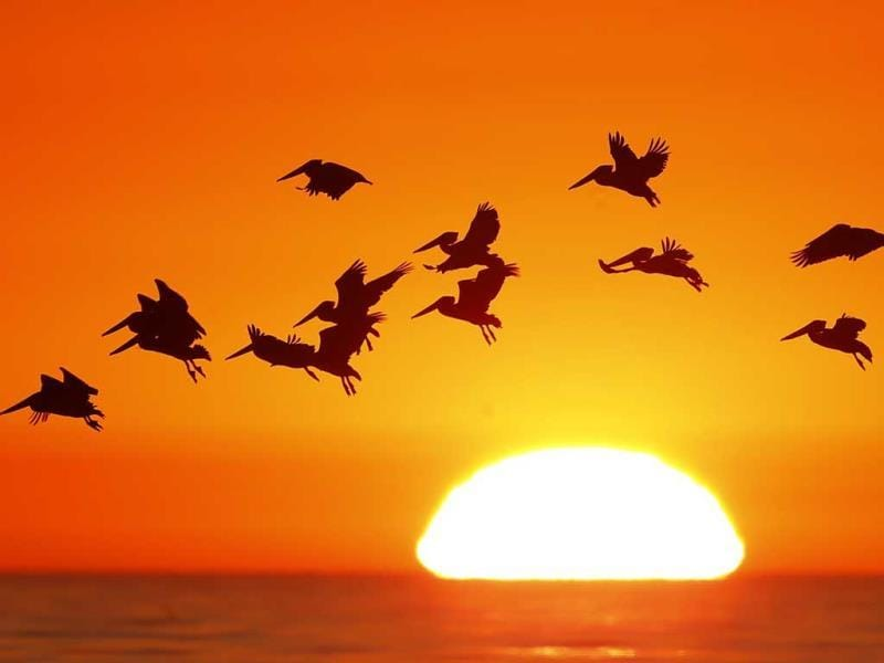Pelicans silhouetted by a setting sun fly as they look for fish along the California coastline near Leucadia, California. (Reuters)