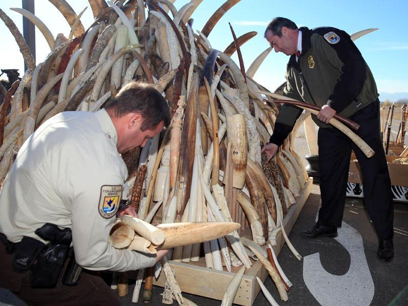 US Fish and Wildfire Service officials destroy six tons of confiscated ivory at the Rocky Mountain Arsenal Wildlife Refuge in Colorado. (AFP Photo)