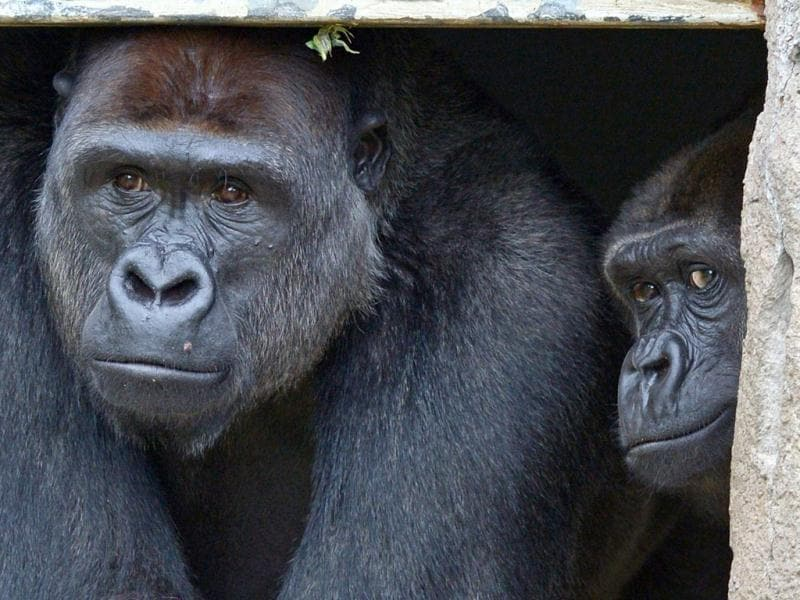 French born Western Lowland Gorilla male, 12-year-old Kibali (L), with female Mbeli (R), peer out from a doorway at the new Gorilla Forest exhibit at Taronga Zoo in Sydney. (AFP Photo)