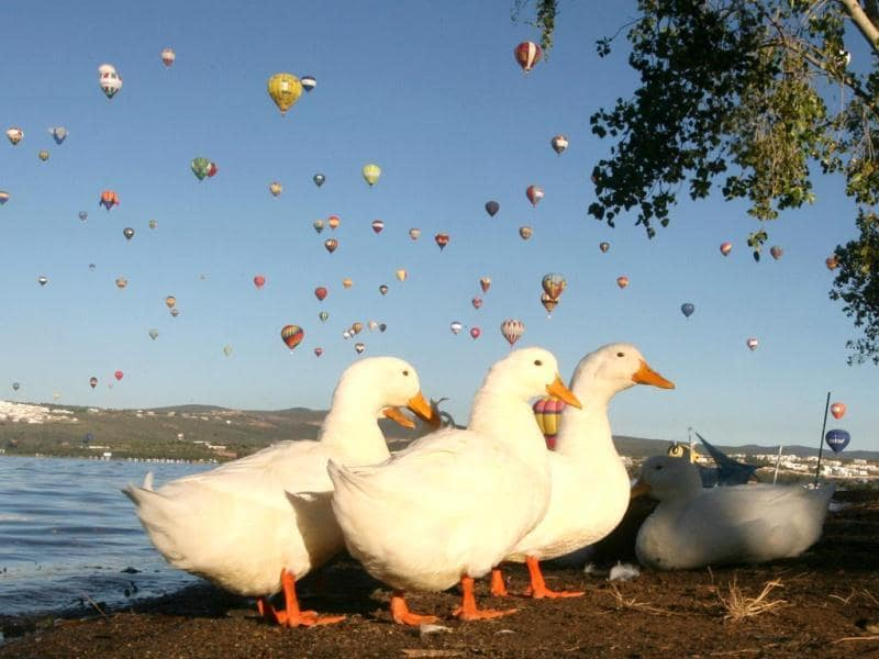 Geese walk on the shores of the Palote dam as balloons fly overhead during the last day of the Hot Air Balloon Festival in Leon, Mexico. (AP Photo)