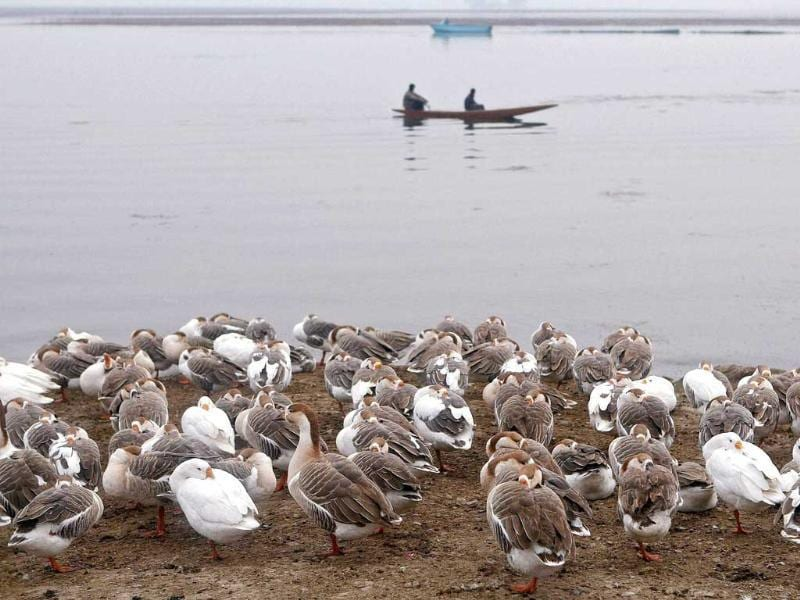Swans cuddle to protect themselves from intense cold at the banks of Dal Lake in Srinagar. (PTI)