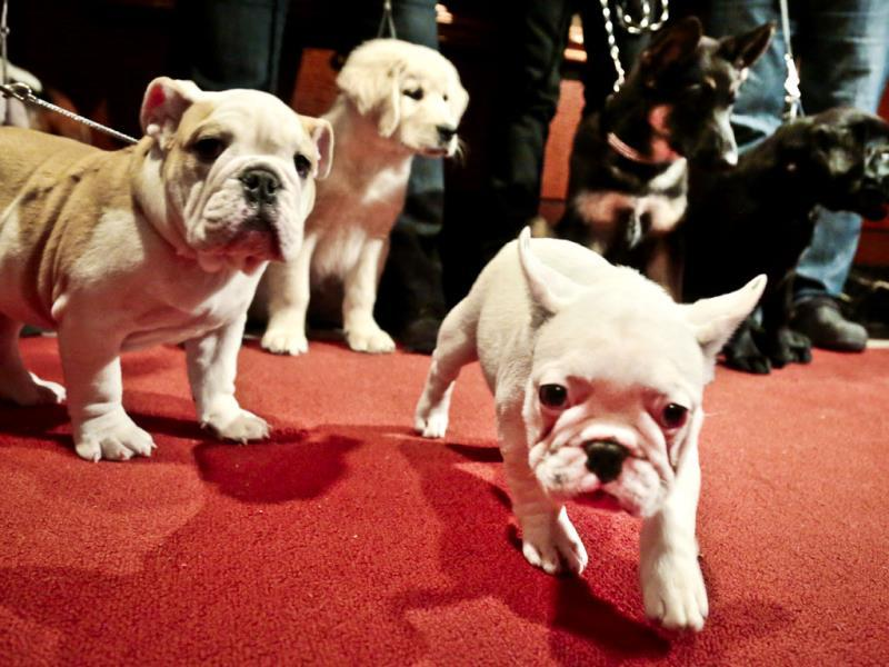 Puppies of some of the most popular dog breeds being shown off in New York. (AP Photo)