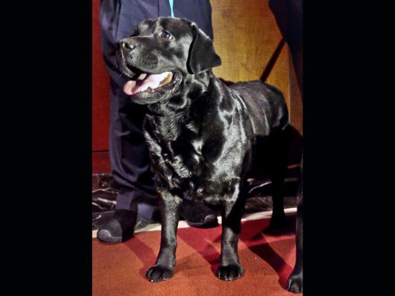 Labrador retriever Carmen poses during a news conference in New York. (AP Photo)
