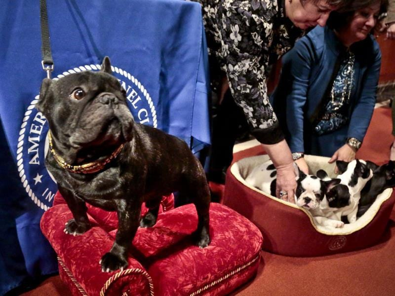 French bulldog Omar (left) stands next to his grand-puppies as their co-breeders place them into a basket at the American Kennel Club in New York. (AP Photo)