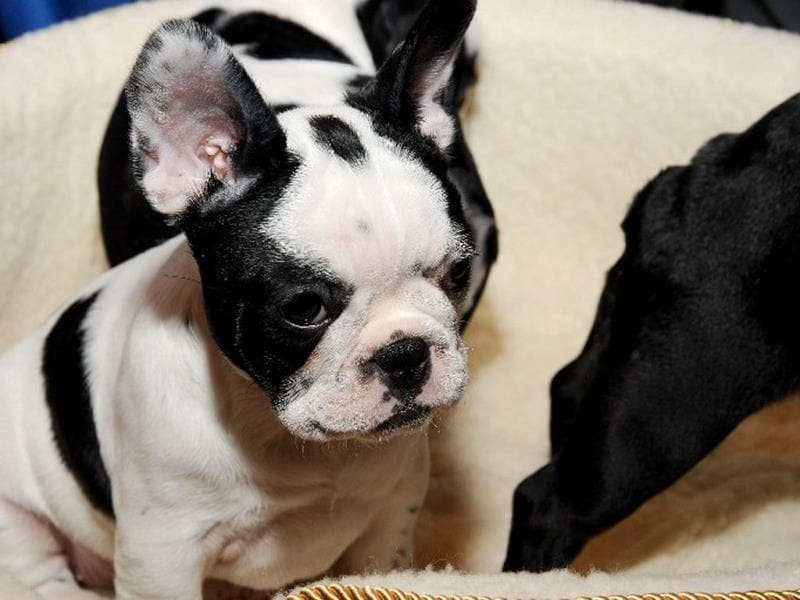 A French Bulldog pup seen during the American Kennel Club's
