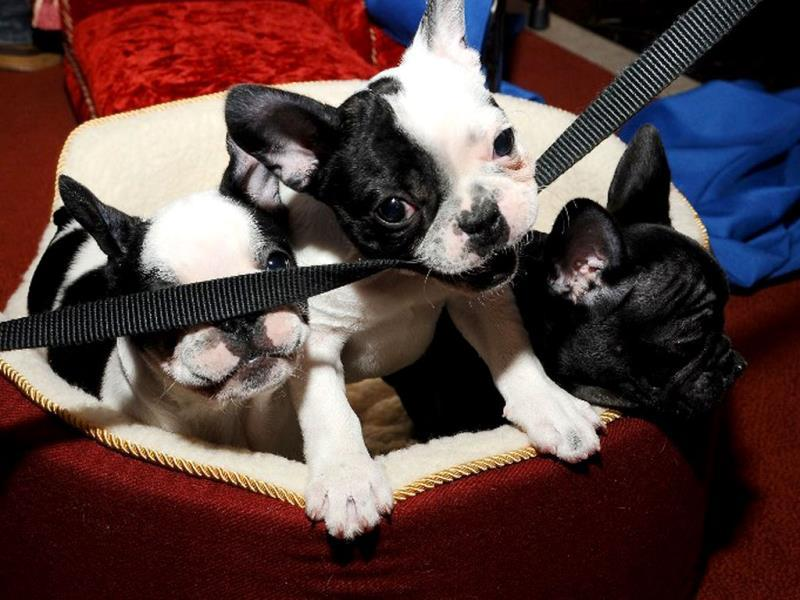 French Bulldog pups are seen during the American Kennel Club's