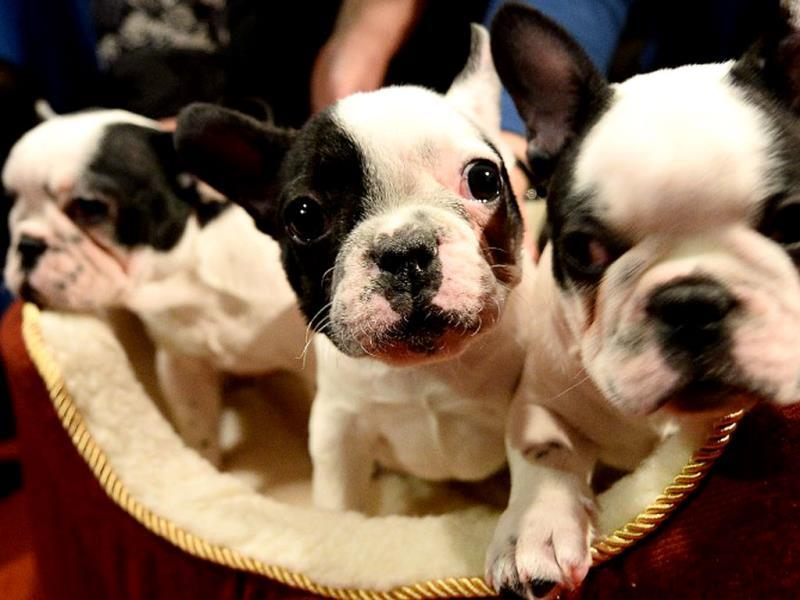 French Bulldog puppies pose as the 2013 most popular dog breeds in the US are unveiled to the press at the American Kennel Club in New York. The top most popular breeds are in order Labrador Retriever, German Shepherd Dog, Golden Retriever, Beagle and Bulldog, including French Bulldog. (AFP Photo)