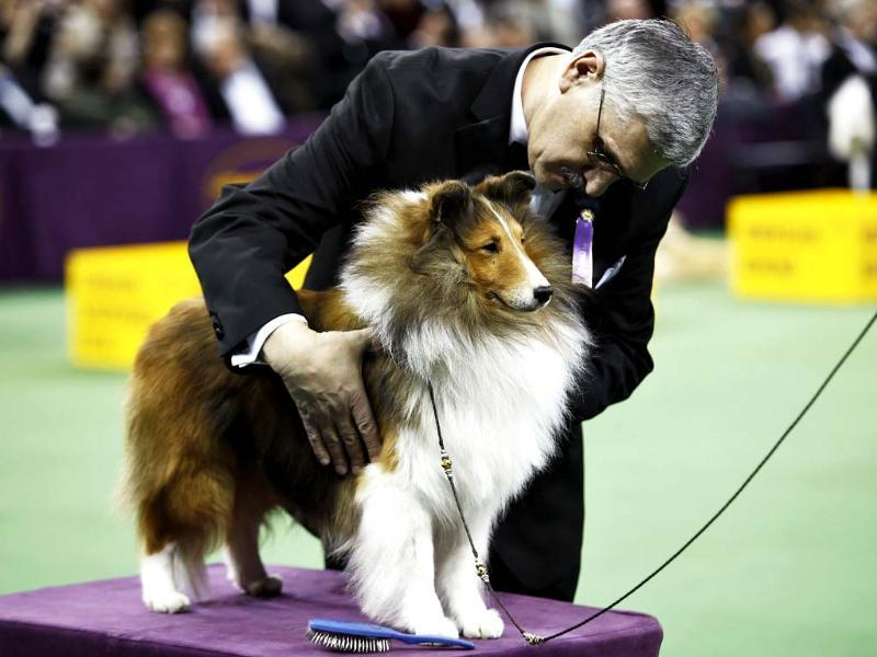 A Shetland Sheepdog is judged during competition at the Hound group during day one of judging of the 2014 Westminster Kennel Club Dog Show in New York. (Reuters photo)