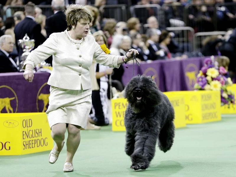 A Bouvier des Flandres competes with other dogs in the Herding group during the 138th Westminster Kennel Club dog show in New York. Coco, a cardigan welsh corgi, won the group. (AP photo)