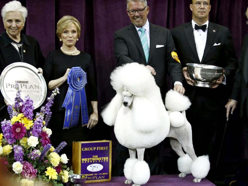 Ally, a standard poodle, poses for a picture after winning the non-sporting group during day one of judging of the 2014 Westminster Kennel Club Dog Show in New York. (Reuters photo)