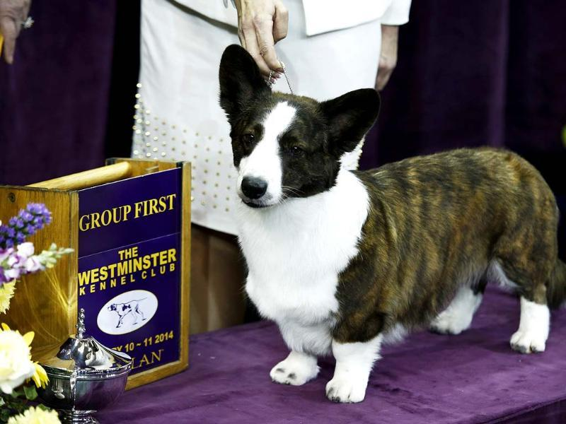 Coco Posh, a Cardigan Welsh Corgi, poses for a picture after winning the herding group during day one of judging of the 2014 Westminster Kennel Club Dog Show in New York. (Reuters photo)