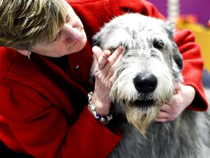 An Irish Wolfhound is groomed in the penning area during day one of judging of the 2014 Westminster Kennel Club Dog Show in New York. (Reuters photo)