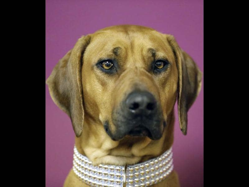 Raquel, a Rhodesian ridgeback, waits for competition to begin before the 138th Westminster Kennel Club dog show in New York. (AP photo)
