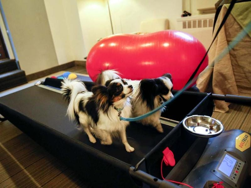 Reseda (L) and Dash, both Papillon dogs, exercise on a dog treadmill at the Affinia Hotel in New York for the annual Westminster Kennel Club Dog Show. (Reuters photo)