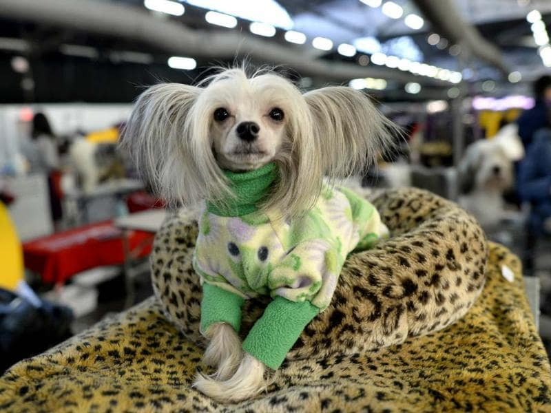 A Chinese Crested waits in the benching area in New York City for the first day of competition at the 138th Annual Westminster Kennel Club Dog Show. (AFP photo)