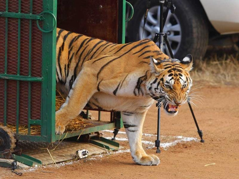 T6, who walked into the forest with an air of arrogance, was relocated from the Pench Tiger Reserve.
