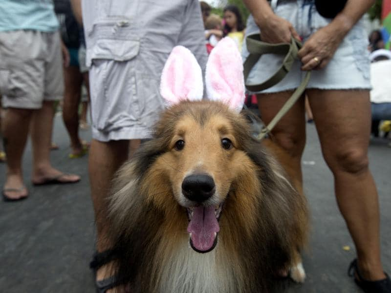 A dog dressed in bunny ears is seen during the Blocao dog carnival in Rio de Janeiro, Brazil. About 100 dogs have had their day at a pre-Carnival bash in Rio de Janeiro. (AP photo)