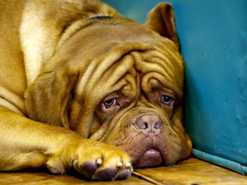 A Dogue de Bordeaux awaits its class during the first day of the Crufts dog show in Birmingham, central England. (Reuters)