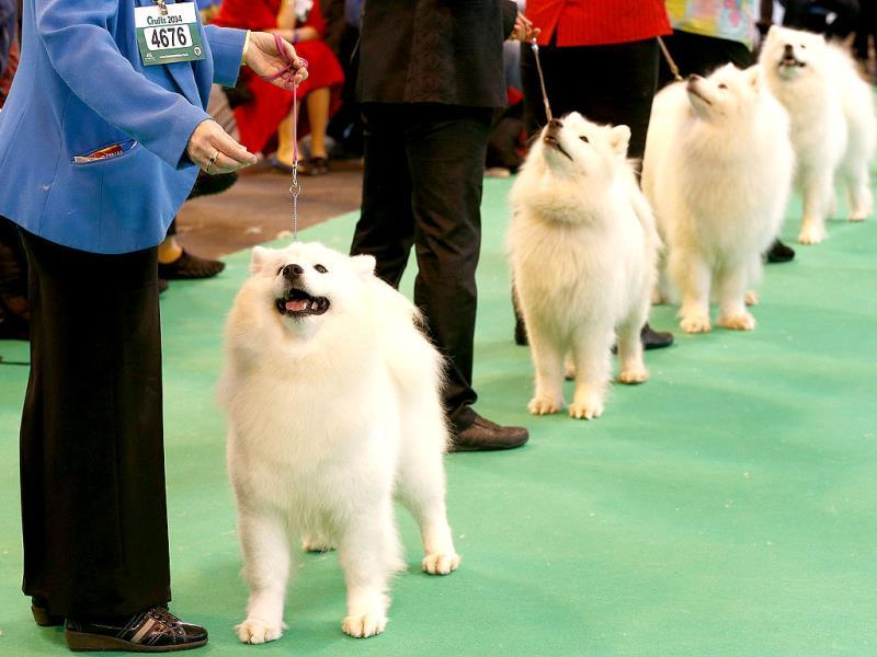 Samoyed dogs are judged during the first day of the Crufts dog show in Birmingham, central England. (Reuters)