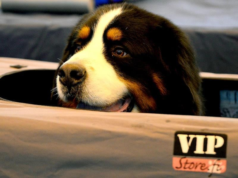 A Bernese Mountain Dog looks out of its tent during the first day of the Crufts dog show in Birmingham central England. The annual event sees dog breeders from around the world compete in a number of competitions with one dog going on to win the