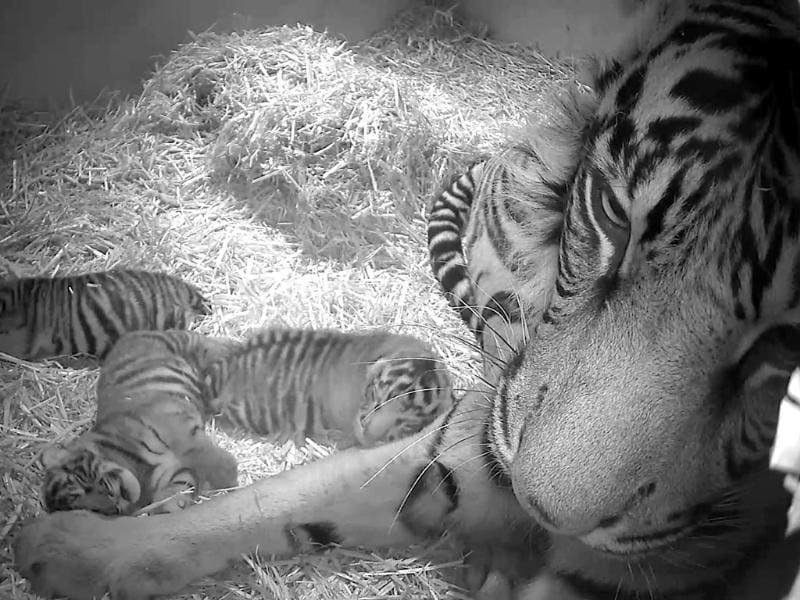 Sumatran tigress Melati with her as yet unsexed triplet Sumatran tiger cubs which were born at the zoo to the five-year-old Sumatran tigress. (AP Photo/Zoological Society of London)