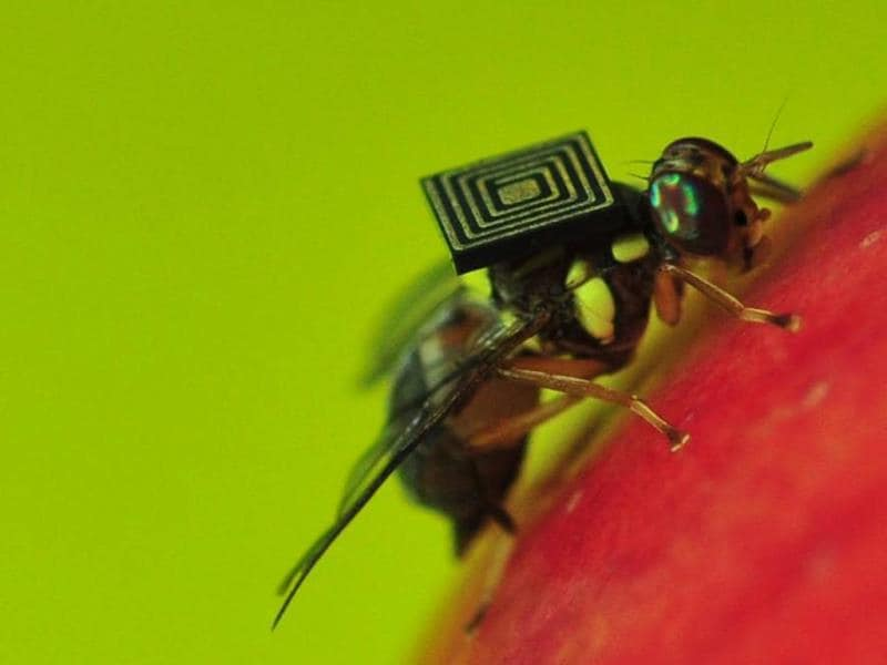 A handout photo obtained from CSIRO shows a Queensland fruit fly with a 1.5-millimetre sensor attached to its back.