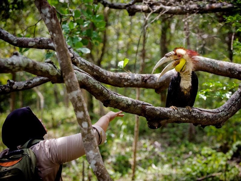 An Indonesia Nature Conservation Agency (BKSDA) official releases a Wreathed Hornbill (Rhyticeros undulatus), also known as the Bar-pouched Wreathed Hornbill, in Aceh (AFP photo)