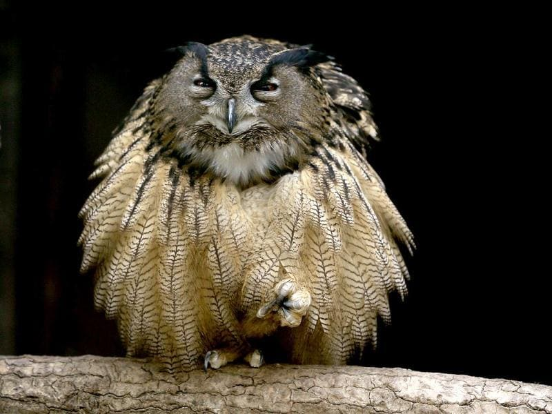 An eagle owl fluffs out its feathers as it sits on one foot on a branch in its enclosure at the Grugapark in Essen. (Reuters Photo)
