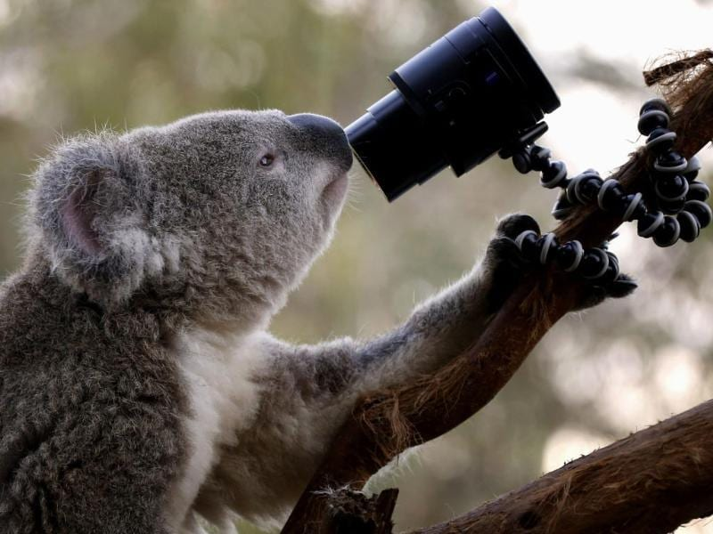 The too-cute-to-be-true selfie - There's just one way to explain this. They let a koala bear go crazy with a camera in Sydney Zoo. (Reuters Photo)