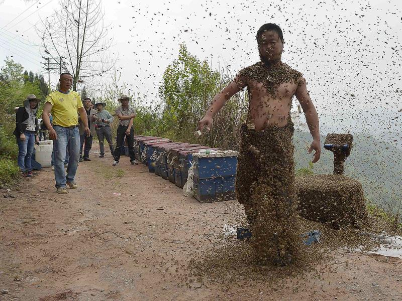 She Ping shakes off bees after an attempt to cover his body with bees in Chongqing municipality. He used queen bees to successfully attract more than 460,000 bees, weighing over 45 kg (Reuters Photo)