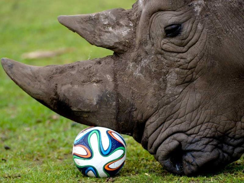A rhinoceros plays with a football in his enclosure at the Serengeti Park in Hodenhagen, central Germany. (AFP Photo)