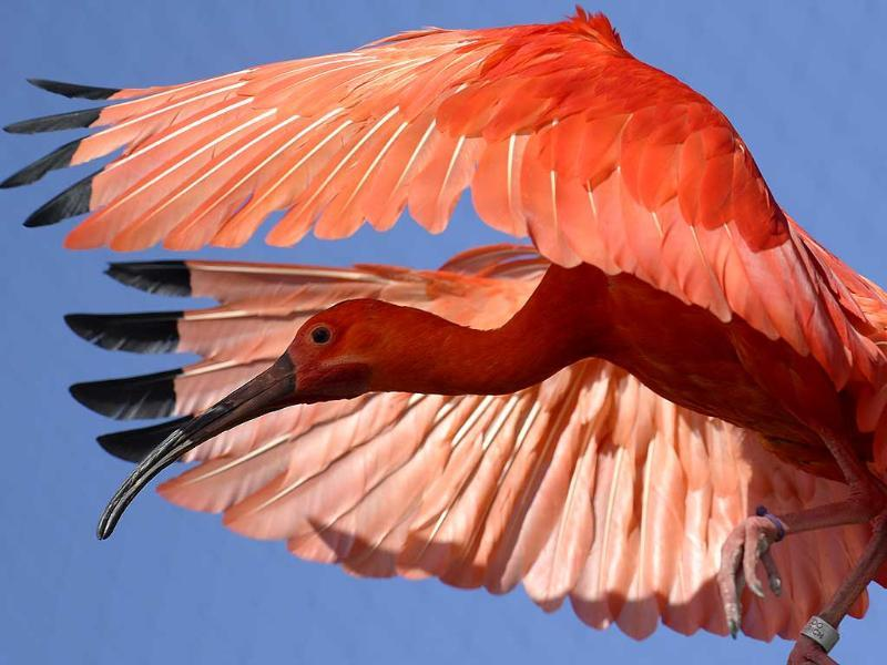 A red ibis flies through the new aviary at the zoo in Zurich, Switzerland. (AP Photo)