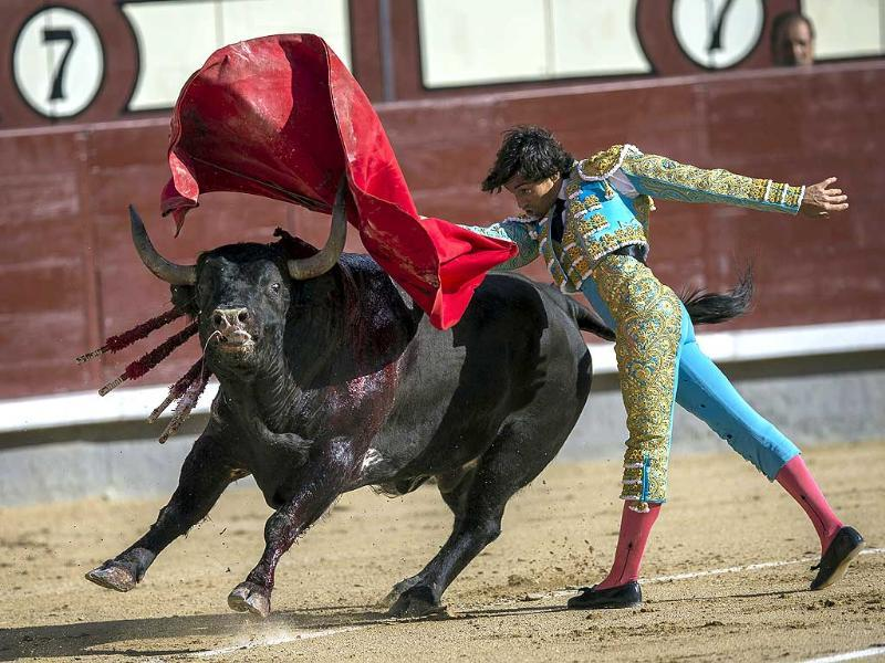 Spanish bullfighter Curro Diaz performs with a Gavira ranch fighting bull during a bullfight at Las Ventas bullring in Madrid (AP Photo)