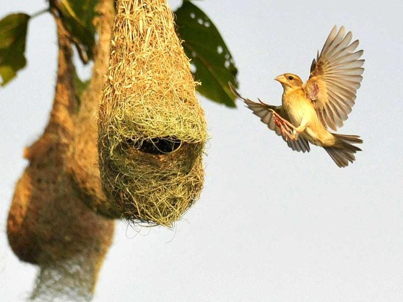 An Indian Baya Weaver (Ploceus Philippinus) bird flies near its nest on the outskirts of the eastern Indian city of Bhubaneswar. (AFP Photo)