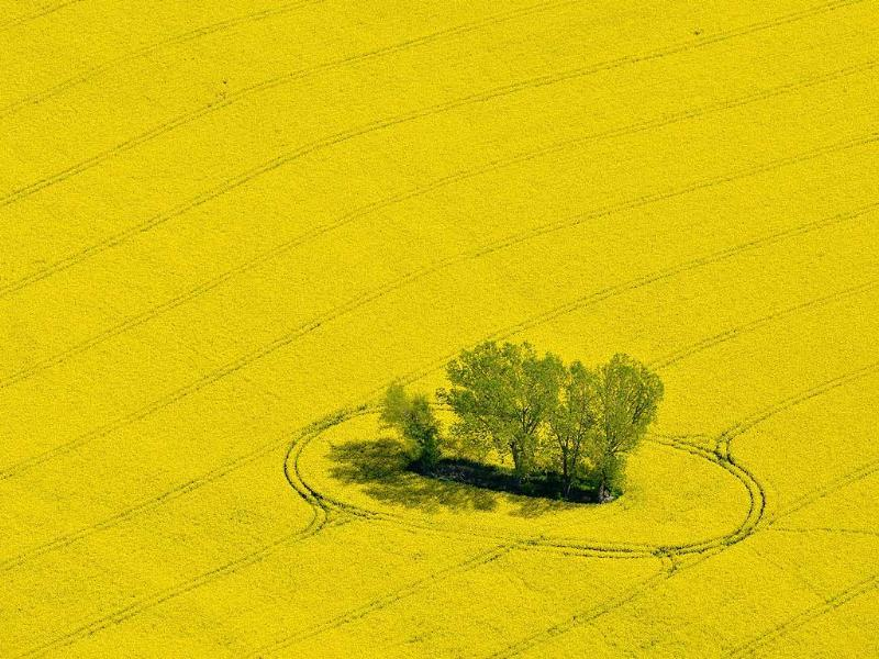 A small group of trees stand in a yellow blooming rape field, pictured from a small plane near Muencheberg, eastern Germany. (AP Photo)