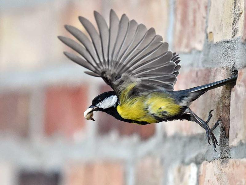 A great tit (parus major) has droppings in its pecker as it flies out of a hole in a wall in Petersdorf, eastern Germany. (AP Photo)