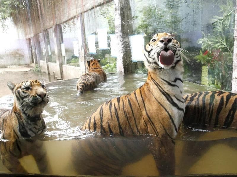 Bengal tigers play in a pool of water at the zoo in Malabon, Metro Manila. (Reuters)