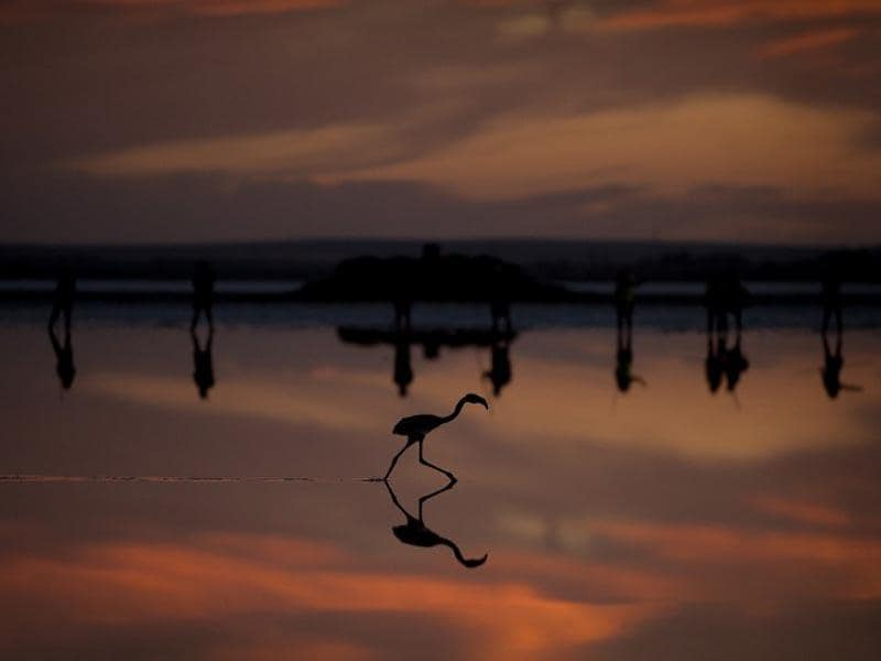 Spain, Fuente de Piedra:  The picture taken on July 19, 2014 shows a flamingo chick on the Fuente de Piedra lake, 70 kilometres from Malaga, during an operation to monitor the evolution of the species. (AFP/Jorge Guerrero)