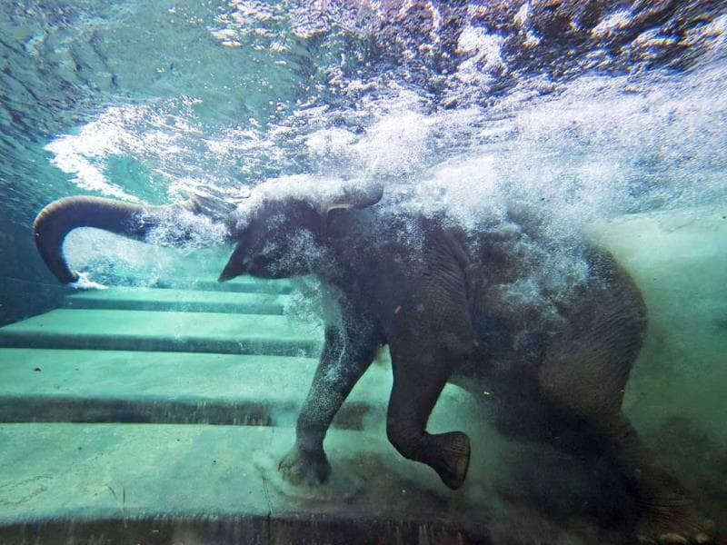 An elephant immerses behind a window in the elephants' indoor pool at a Zoo in Leipzig, Germany. (AP Photo)