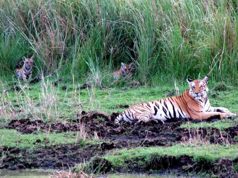 Tigress Kankati and her three cubs at Bandhavgarh Tiger Reserve. A few weeks after these photos were taken by HT, the tigress and two cubs died in a territorial fight. (Neeraj Santoshi/HT photo)