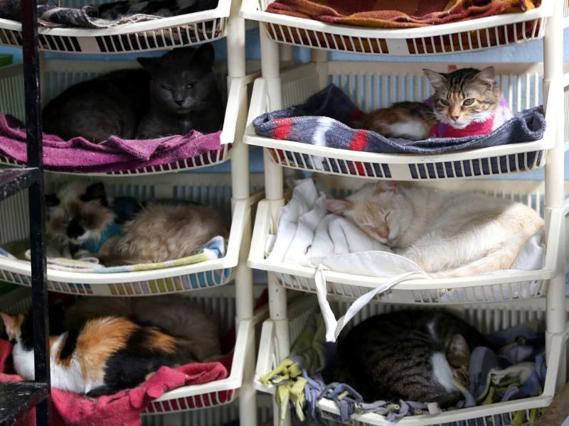 A group of sick cats rest in Maria Torero's hospice for felines suffering from Leukemia, at her home in Lima. (AP Photo)