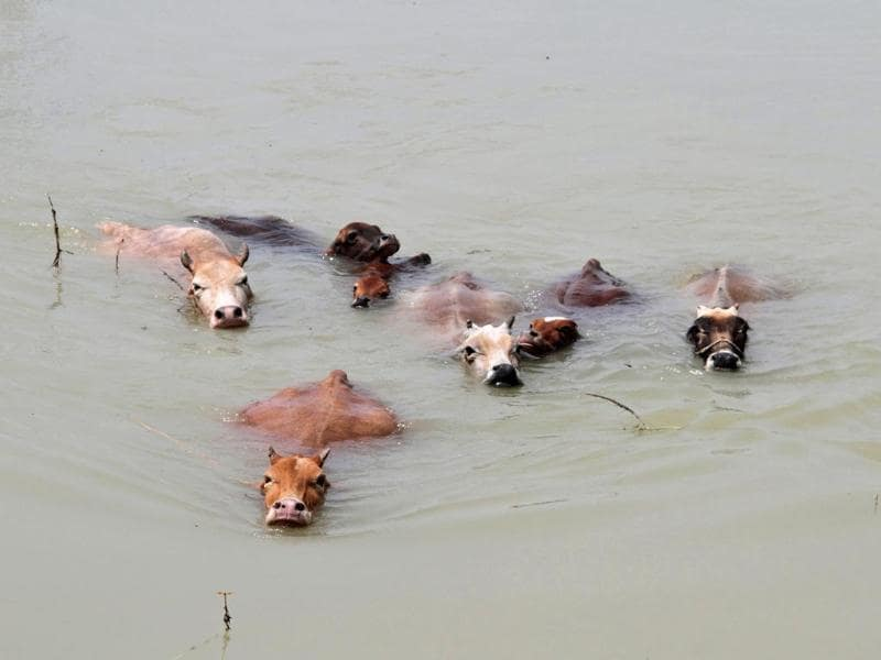 Cows wade through the flood waters at Mayong village in Assam. (Reuters Photo)