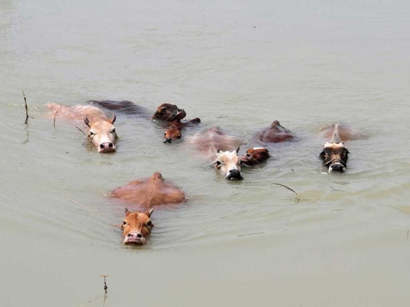 Cows wade through the flood waters at Mayong village in Assam after floods hit the state. (Reuters Photo)